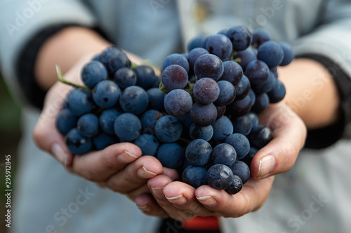 Closeup of a hand with blue ripe grapes. Fresh blue bunches of grapes. The concept of winemaking, wine, vegetable garden, cottage, harvest. - 295912845