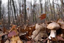 White Mushrooms In The Autumn ...