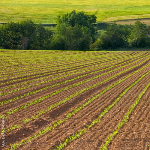 Plantation de maïs dans un champ en France Wallpaper Mural