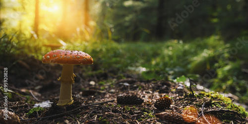 Fly Agaric in the forest, banner size, with copyspace for your individual text.