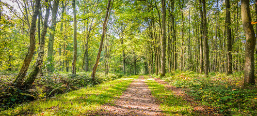 Natural landscape of belgian forest with deciduous trees and a hiking trail on a beautiful day in the beginning of the autumn.