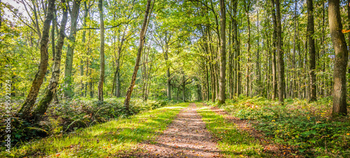 Fotografía Natural landscape of belgian forest with deciduous trees and a hiking trail on a beautiful day in the beginning of the autumn