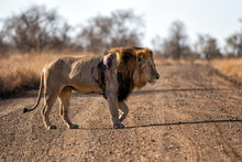 Lion - Dominant Male Wounded A...