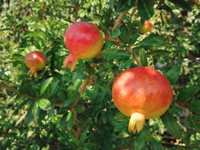 Ripening Pomegranate Grows On ...