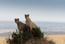Cheetah On Hill