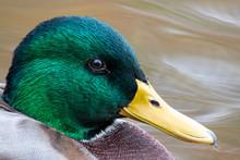 Male Mallard Duck