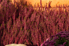 Pink Heather Bunches Blooming ...