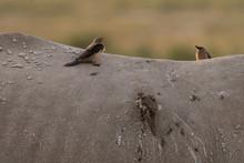 Birds Eating Rhino