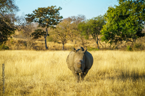 white rhino without horns in kruger national park, south africa 13 Canvas Print