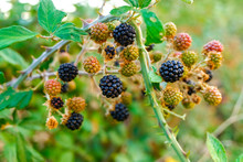 Wild Blackberries Ripening During The Fall.