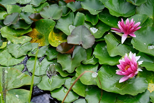 Poster de jardin Nénuphars Green big frog sitting on a waterlily leaf and pink waterlily flower.