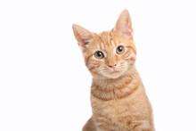 Beautiful Cute Orange Cat