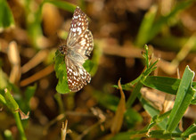 Common Checkered-Skipper At La...