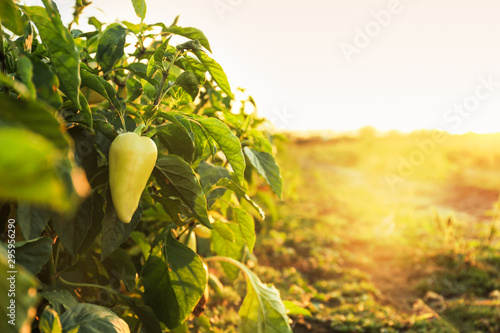 Foto  Bushes with ripe bell peppers in field