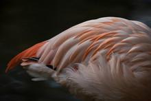 Close Up Of Colored Flamingo B...