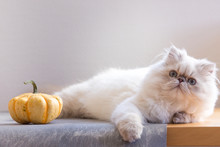 Silver Persian Kitten 5-month-old With Pumpkin On A Grey Chair On White Background