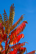 canvas print picture - Autumn red and yellow colors of the Rhus typhina, Staghorn sumac, Anacardiaceae, leaves of sumac on blue sky.
