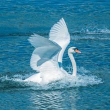 Swan Flying White Lake Bay Lacuna Clonakilty Ireland Atlantic Blue Water