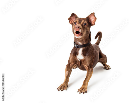 Fototapeta Small brown dog excited and barking obraz