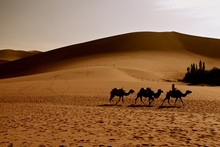 Silhouette Of Three Camels And...