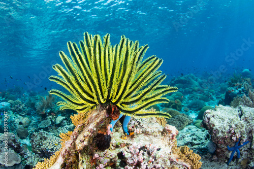 Poster Coral reefs A bright yellow crinoid fans its tentacles out to feed on plankton flowing over a reef in Indonesia. Crinoids are ancient echinoderms often found as fossils.