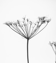Dry Branches Of Hogweed, On A ...