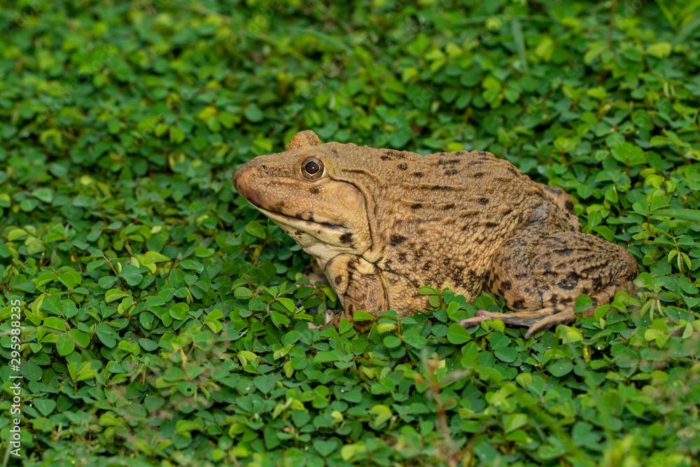 Image of Chinese edible frog, East Asian bullfrog, Taiwanese frog (Hoplobatrachus rugulosus) on the grass. Amphibian. Animal.