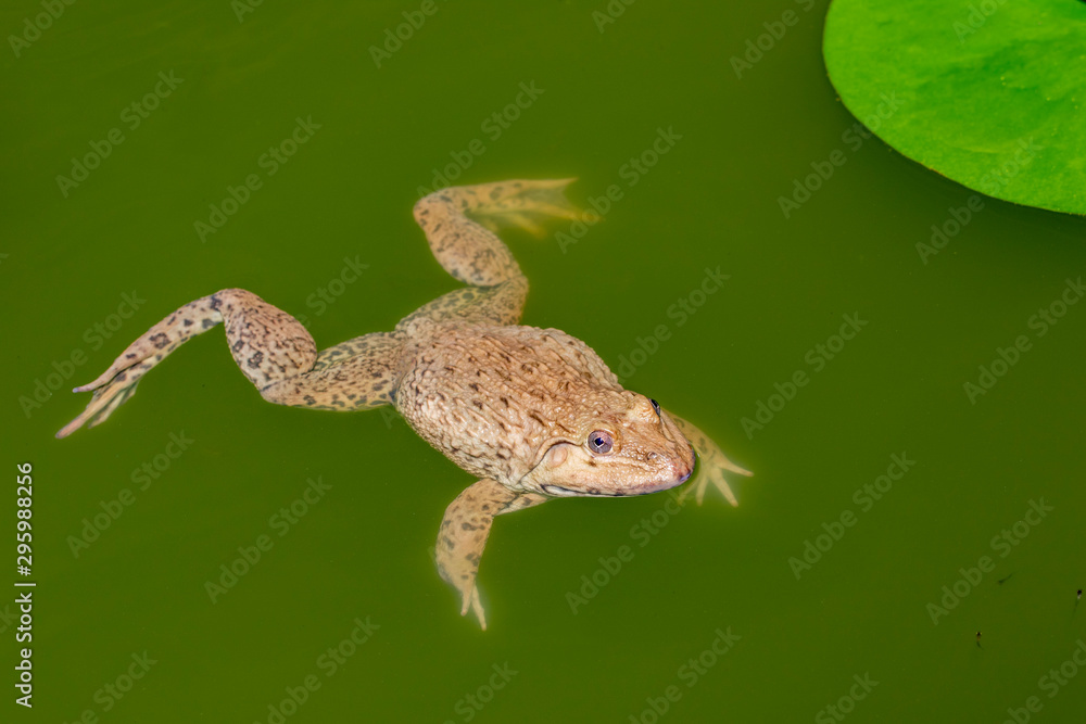 Image of Chinese edible frog, East Asian bullfrog, Taiwanese frog (Hoplobatrachus rugulosus) on the water. Amphibian. Animal.