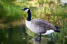 Canada Goose (Branta Canadensis) Standing On A Rock In A Pond In Burnaby, BC, Canada.