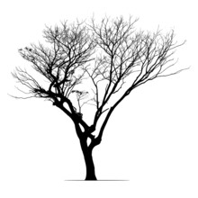Rain Tree In Silhouette. The High Contrast Style On White Background, Vector File