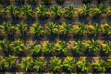 Aerial Top View Plantation Of ...