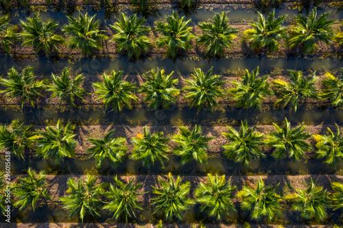 Canvas Print Aerial top view Plantation of sweet coconut trees, Ratchaburi, Thailand