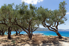 Olive Trees On The Cliff