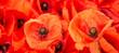 Leinwandbild Motiv poppy flower - common poppy - Papaver rhoeas