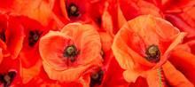 Poppy Flower - Common Poppy - ...