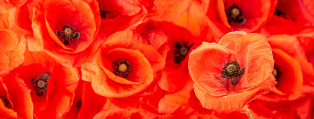 Fototapeta Maki poppy flower - common poppy - Papaver rhoeas