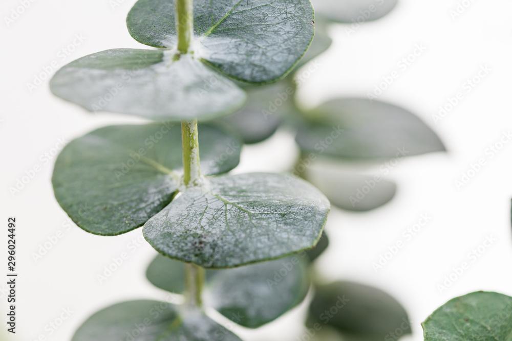 Fototapety, obrazy: Macro photography of baby eucalyptus foliage against white wall. Nature background.