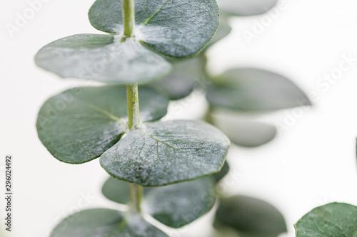 Papiers peints Macro photographie Macro photography of baby eucalyptus foliage against white wall. Nature background.