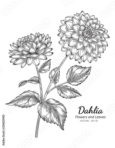 Leinwand Poster Dahlia flower drawing illustration with line art on white backgrounds