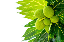 Bunch Of Breadfruit (known As Bread Nut,  Artocarpus Altillis)  And Green Leaves Isolated On White Background.  Properties As Sake,prevention Of Memory Loss Or Alzheimer. Natural Herbal Plant Concept.