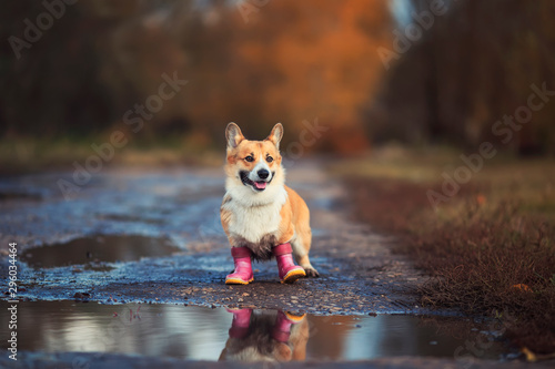 Foto portrait cute puppy redhead a Corgi dog stands on the road in rubber boots near