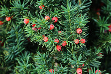 Taxus Baccata European Yew Is Conifer Shrub