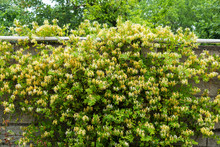 Lonicera Japonica Blossoms On Cement Wall