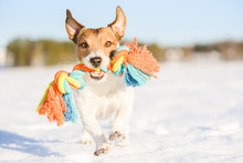 Happy Adorable Dog Fetches Rope Toy Running On Snow At Warm Winter Day