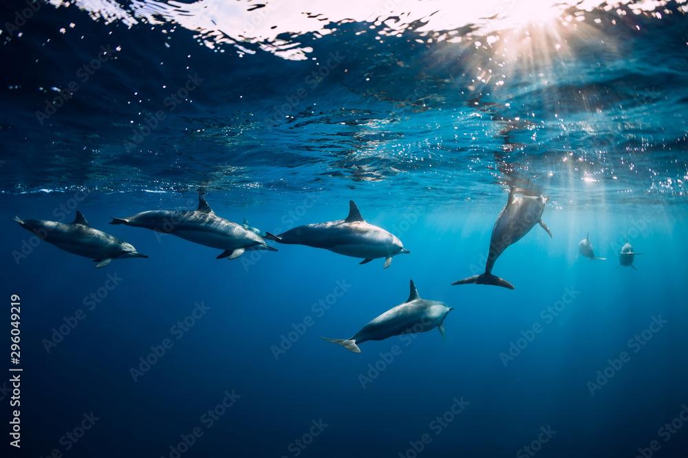 Fototapety, obrazy: Spinner dolphins underwater in blue ocean. Dolphin family