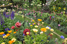 Beautiful Cottage Garden Flowers In The English Summer Border.