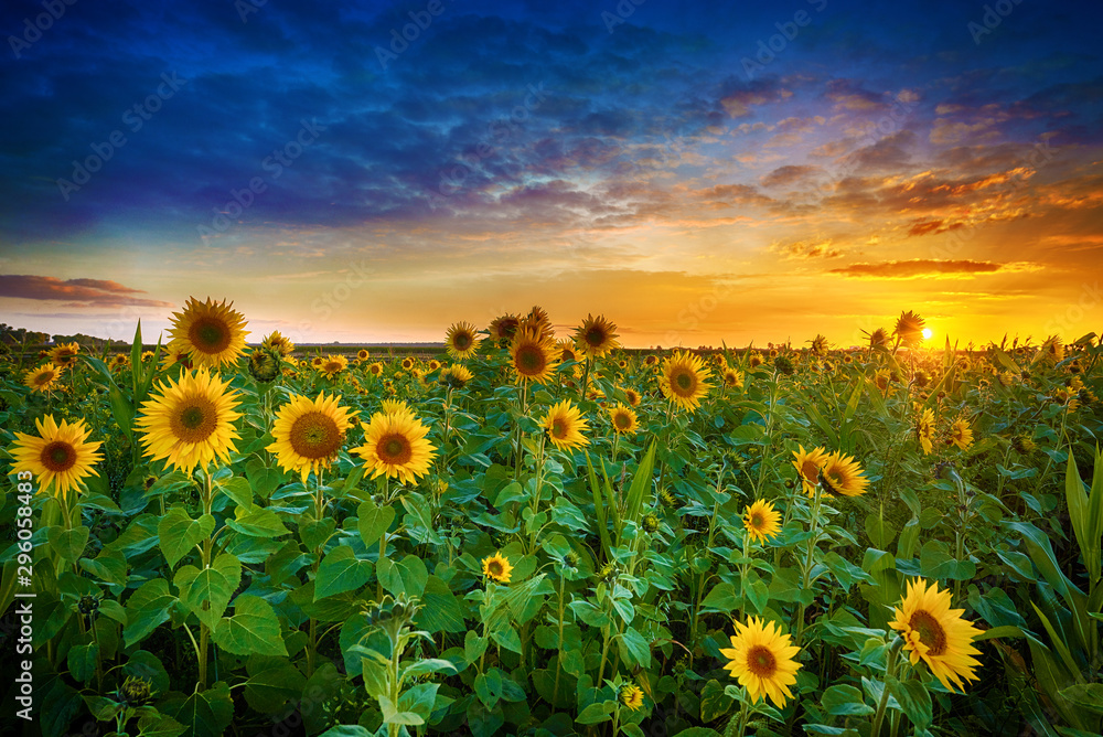 Fototapety, obrazy: Beautiful sunset over sunflower field