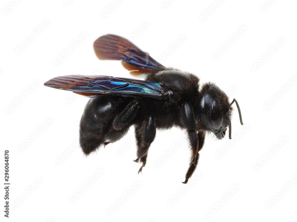 Fototapety, obrazy: Bumblebee isolated on white background