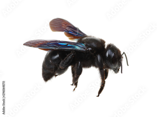 obraz PCV Bumblebee isolated on white background