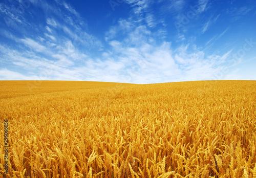 Foto op Plexiglas Weide, Moeras Golden wheat field